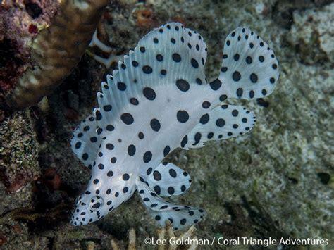 barramundi cod raja juvenile ampat coral oct trip report reef