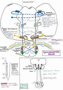 1303 Best Images About Neuroanatomy On Pinterest