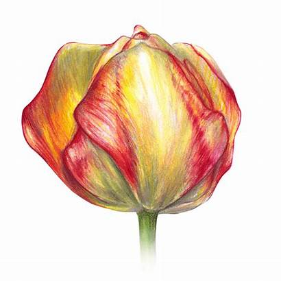 Pencil Drawing Tulips Tulip Drawings Colored Adult