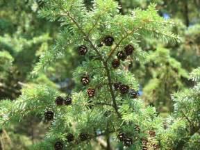 the world s tree species western hemlock tree