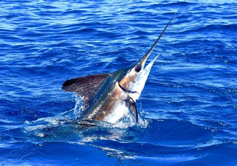 marlin better fishing keeps limited getting come fun they