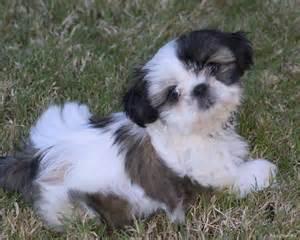 Small Hypoallergenic Dog Breeds List