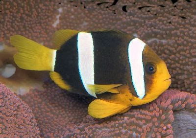 clarkii clownfish amphiprion clarkii clarks anemonefish