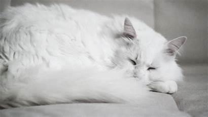 Cat Fluffy Sleeps Gifs Cats