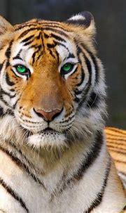 tigre wallpaper,tiger,terrestrial animal,mammal,wildlife ...
