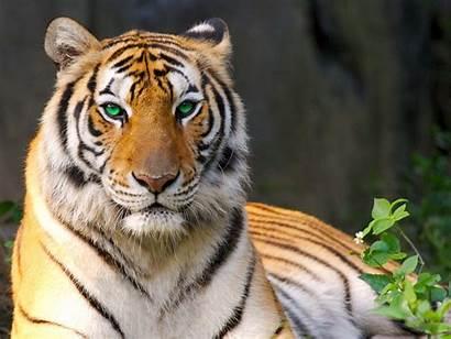 Tigre Tigres Pc Pantalla Fondo Agua Descargar