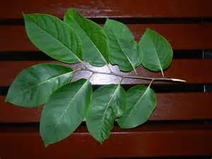 Persimmon Tree Leaf Identification
