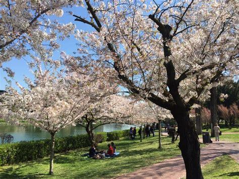 giardino dei ciliegi roma hanami a roma al laghetto dell eur si passeggia tra i