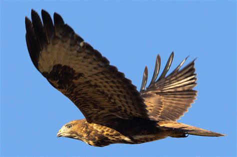 Buzzards fly high in Nottinghamshire