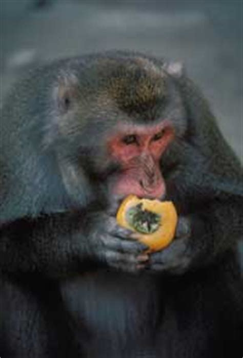 social learning  macaque troops howstuffworks