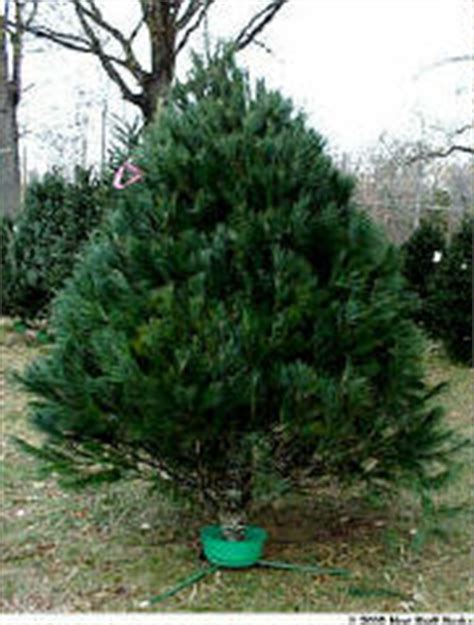 taking care of christmas trees taking care of your tree taking care of your tree howstuffworks