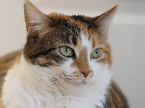 tabby cat pictures file calico tabby cat jpg