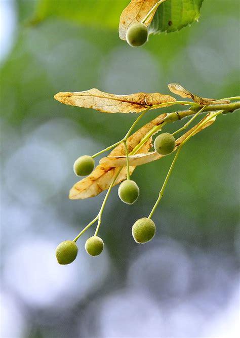 tilia platyphyllos scop subsp platyphyllos tilo flickr