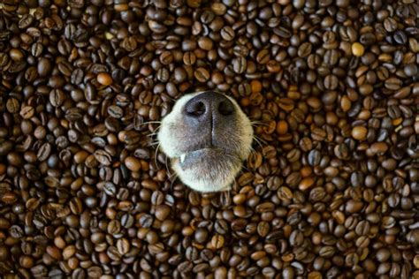 Coffee beans, grounds and brewed coffee contain caffeine, a very dangerous and toxic chemical to cats and dogs. Dogs Drinking Coffee: A Habit Your Dog Should Give Up ...
