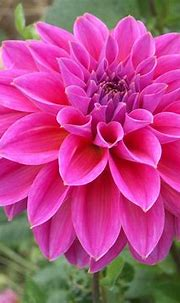 Pink Dahlia Flower Hd Wallpaper Download For Mobile ...