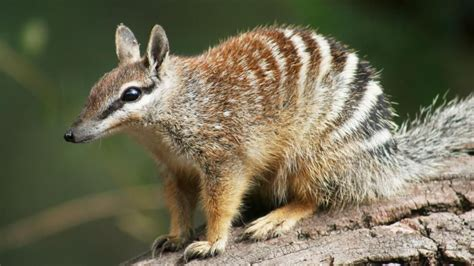 australia  launch  strategy  save endangered native