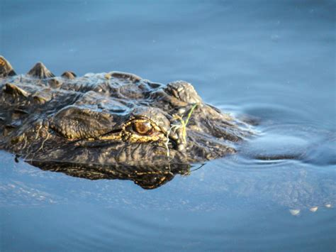 Airboat Alligator Tour by Take An Airboat Ride To See Alligators Cypress Airboat Tours