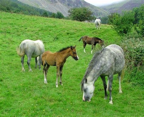 wild ponies welsh aber falls wales dalesman ramblings hills august 2008