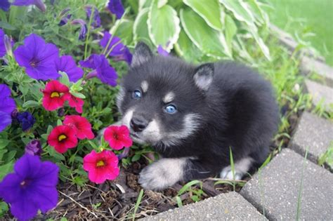 non shedding husky cross dogs puppies are hypoallergenic non shedding pomsky