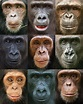 Great Apes | Great Apes | Pinterest