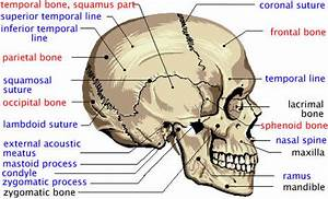 Diagram Of Facial Skeleton