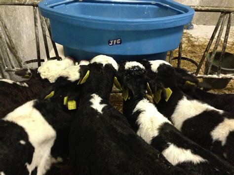 9 Commandments For Calf Rearing