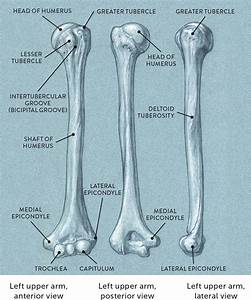 The Humerus U2014three Views