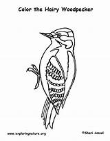 Woodpecker Coloring Hairy sketch template