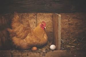 Nid Pour Poulailler : un poulailler bien organis pour des poules en bonne sant ~ Premium-room.com Idées de Décoration