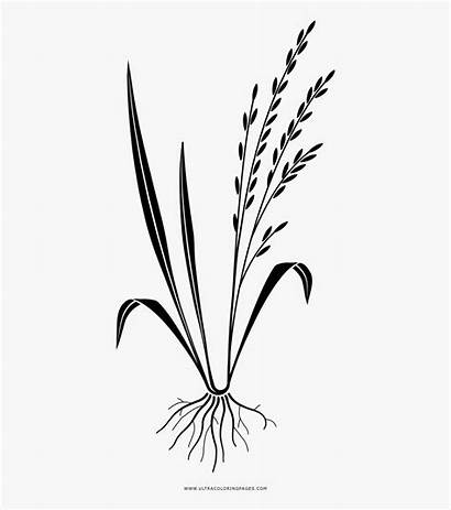 Rice Coloring Clipart Transparent Clipartkey