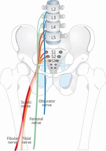 Lower Nerves Limb Anatomy Nerve Pain Spine