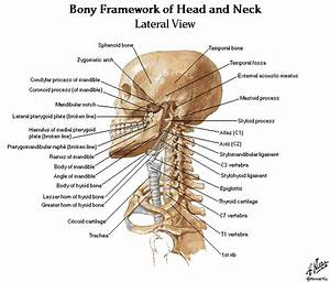 Dentistry And Medicine  Head And Neck Anatomy Muscles