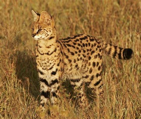 Wild Cats Pt 2 Serval • Lazer Horse
