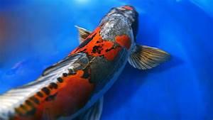 Dragon Koi Fish