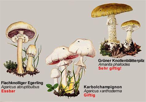pilzvergleiche champignons mit doppelgaengern awlch