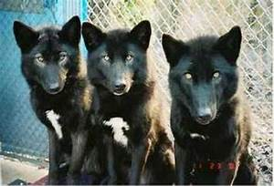 What are these black canids?   Natural History