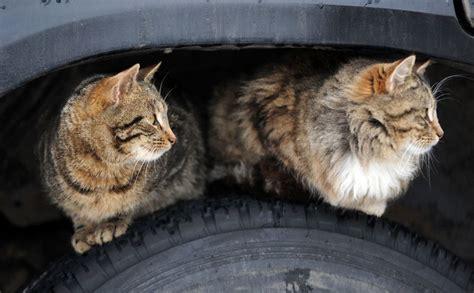 Kuldīgas dzīvnieku aizstāvji nosargā pilsētas kaķus. Viņus ...