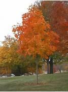 Maple  Sugar Fall Fies...Sugar Maple Tree