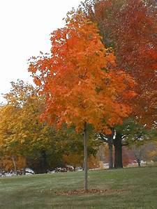 Maple, Sugar Fall Fiesta® - TheTreeFarm.com  Fall