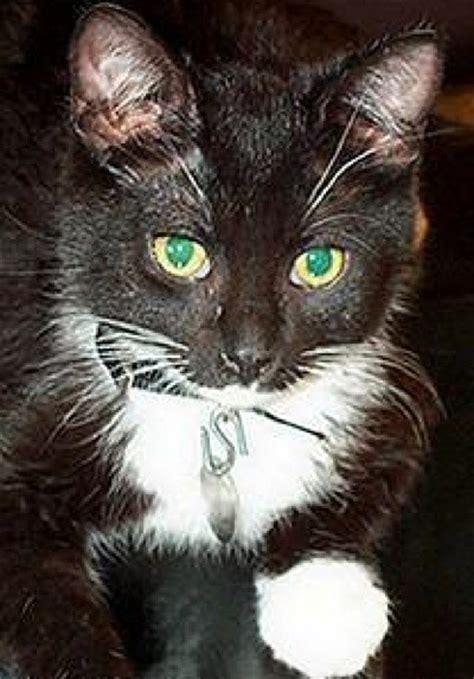 sylvester tuxedo cat thriftyfun