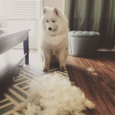 do hypoallergenic dogs still shed great debate are samoyeds really hypoallergenic