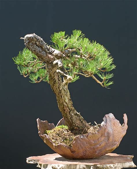 grand pot pour bonsai 28 images pin blanc les chuhin et autres grands bonsa 239 forums