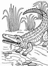 Coloring Alligator Pages Crocodile Printable Animal Procoloring Colouring Dinosaur Drawing Alligators Crocodiles Realistic Zoo Adult Cartoon Familycorner Grown Ups Adults sketch template