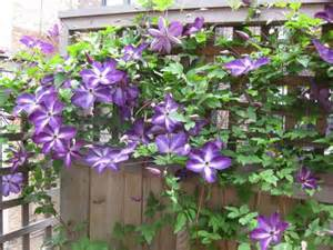 Raised Bed Soil Calculator by How To Grow Clematis How To Care For Clematis