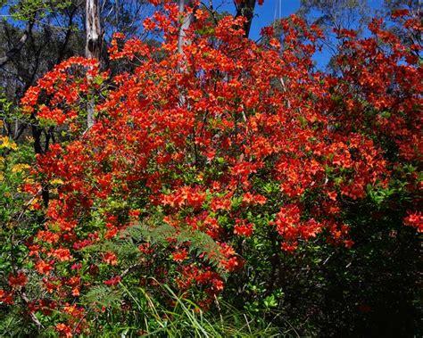 Gardensonline Rhododendron Mollis Hybrids