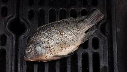 Fish Grilled Grill Cooking Grilling Smell Too