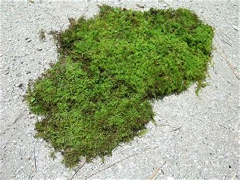 how to grow sheet moss related keywords suggestions for sheet moss