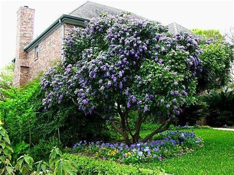 Plantfiles Pictures Texas Mountain Laurel, Mescal Bean