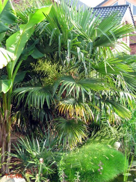palmier comment planter cultiver et entretenir des palmiers pratique fr