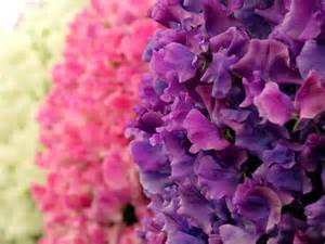 pink or purple flowers white pink and purple flowers flower picture